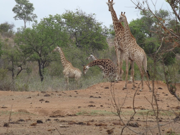 The herd of giraffes was all looking at somethhing